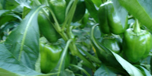 green peppers!