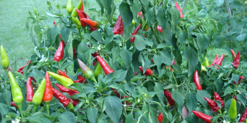 hot pepper!