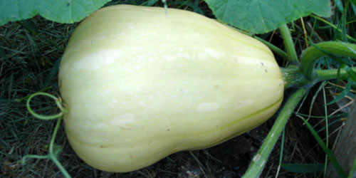 butternut squash!